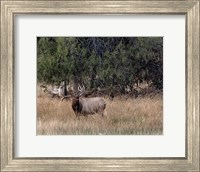 Framed Bull Elk in Montana V