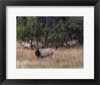 Framed Bull Elk in Montana V