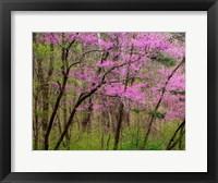 Framed Redbud Tree