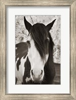 Framed Pale Eyed Stallion