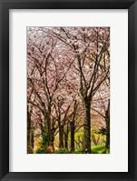 Framed Cherries in Bloom