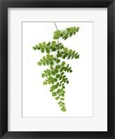 Framed Green Maidenhair