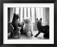 Framed Ragdoll Kitten