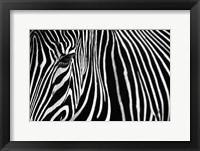 Framed Zebra in Lisbon Zoo