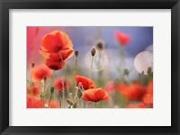 Framed Poppy Delight