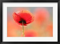 Framed Poppy Dream