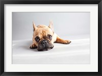 Framed Sad Frenchie