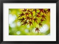 Framed Shoji:Momiji III