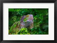 Framed Green Iguana