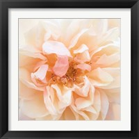 Framed Promise Rose