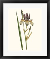 Framed Antique Iris I