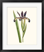 Framed Antique Iris III