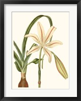 Framed Antique Amaryllis I
