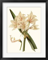 Framed Antique Amaryllis II