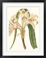 Framed Antique Amaryllis III