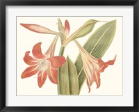 Framed Antique Amaryllis IV