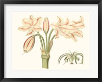 Framed Antique Amaryllis V
