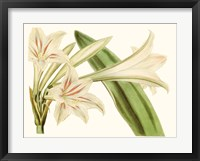 Framed Antique Amaryllis VI