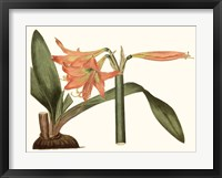 Framed Antique Amaryllis VII