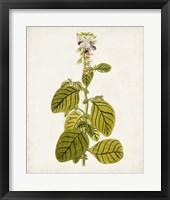 Framed Antique Botanical Study VII