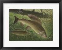 Framed Grayling Fish