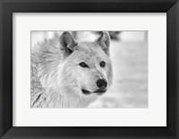Framed Wolf B&W 5014