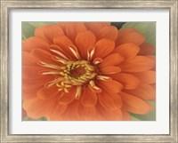 Framed Orange Zinnia