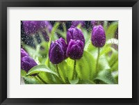 Framed Purple Tulips in Rain