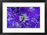 Framed Purple Mysterious Parrot Tulip