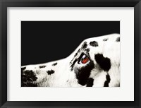 Framed Amber Eye of Dalmatian Dog