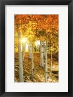 Framed Aspen Glow