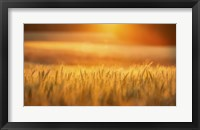 Framed Golden Wheat