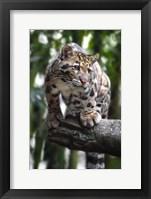 Framed Leopard Stare