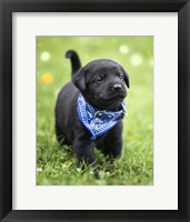 Framed Black Lab Pup 1