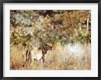 Framed Golden Savanna Lioness