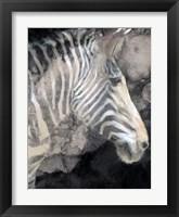 Framed Wistful Zebra Awash