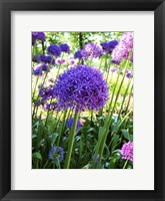 Framed Allium Everywhere
