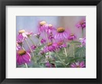 Framed Brilliant Wild Berry Cone Flower
