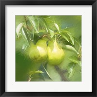 Framed Pear Branch