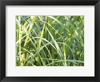 Framed Zebra Grass Tangled