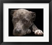 Framed Pit Bull Terrier