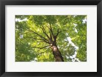 Framed Hardwood Forest Canopy V