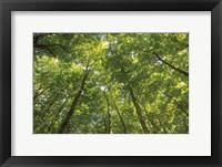 Framed Hardwood Forest Canopy IV