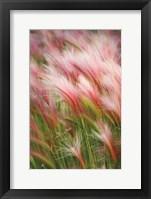 Framed Foxtail Barley V