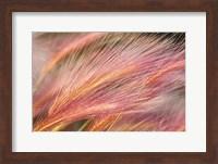Framed Foxtail Barley III