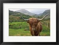 Framed Scottish Highland Cattle III