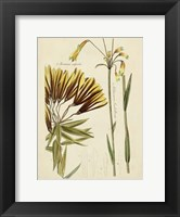 Framed Antique Botanical Sketch II