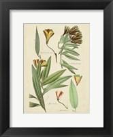 Framed Antique Botanical Sketch III