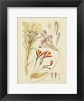 Framed Antique Botanical Sketch V