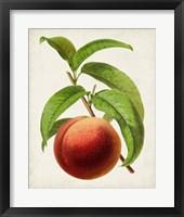 Framed Antique Fruit V